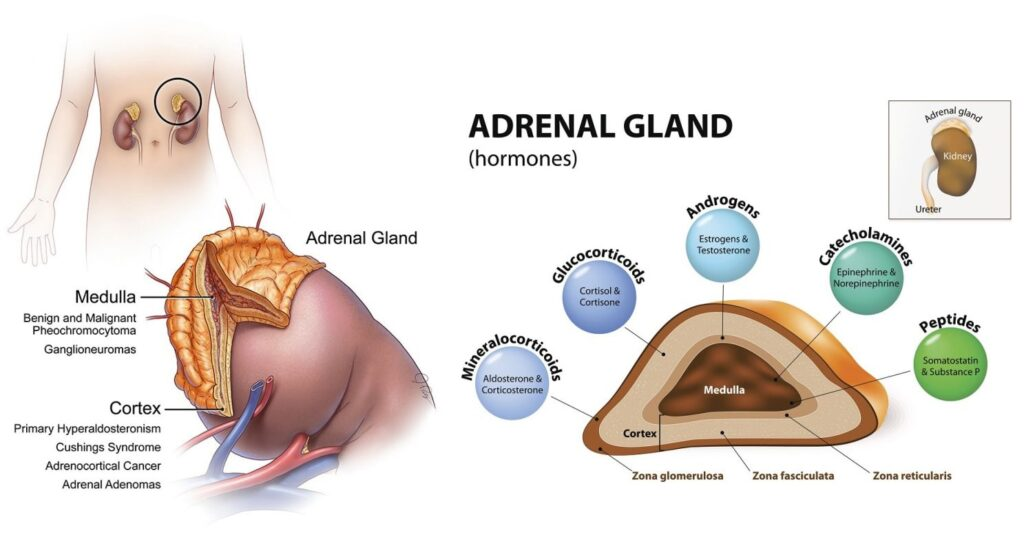 What Diseases Affect The Adrenal Glands?